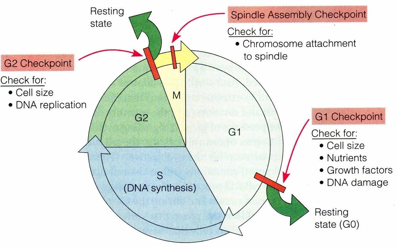 首页> 实验服务 > 细胞生物学服务                细胞周期 (cell